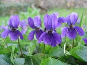 humilite-de-la-violette